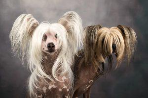 honden fotograaf Limburg | kleine honden | grote honden | chinese naakthond| fotoshoot met hond