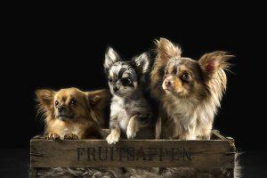 Honden fotograaf Limburg | kleine honden | grote honden | shihuahua | foto van hond