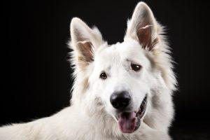 Honden fotograaf Limburg | kleine honden | grote honden | witte herder | foto van hond