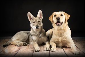 Honden fotograaf Limburg | kleine honden | grote honden | labrador | foto van hond