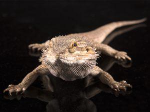 Dieren fotograaf Limburg | reptielen | baardagaam | alle dieren