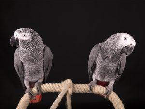 Papegaai fotograaf Limburg | grijze roodstaart | studio | alle dieren