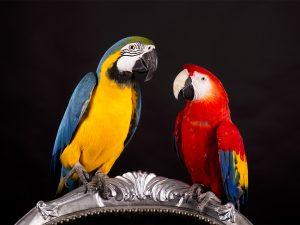 Ara fotografie | papegaai fotograaf Limburg | studio