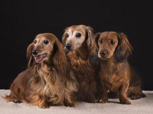 Honden fotoshoot Limburg Brabant